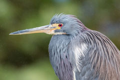 Tricolor heron Royalty Free Stock Photos