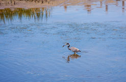 Tricolor Heron. Catching fish in the shallow water Stock Image