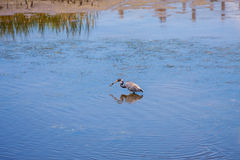 Tricolor Heron. Catching fish in the shallow water Royalty Free Stock Photo