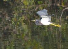 Tricolor Heron, Egretta tricolor Stock Photos