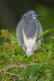 Tricolor Heron, Egretta tricolor Royalty Free Stock Photo
