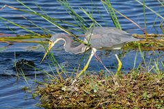 Tricolor heron hunting fish in the everglades. Stock Image