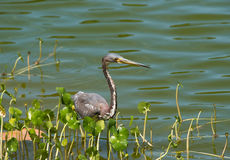 Tricolor Heron Stock Photo