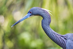 Tricolor Heron Profile Stock Images