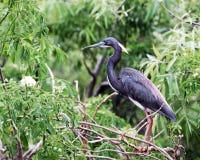 Tricolor Heron Profiled Stock Photos