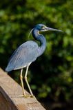 Tricolor Heron on the railing Royalty Free Stock Image