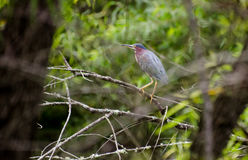 Tricolor Heron roosting Royalty Free Stock Photo
