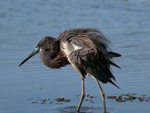 Tricolor heron with ruffled feathers Royalty Free Stock Image