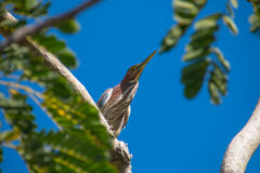 TriColor Heron Royalty Free Stock Image