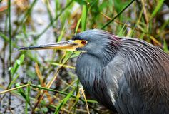 Tricolor Heron. This tricolor heron was hiding in the reeds in Everglades National Park.  This wading birds commonly hunt fish, minnows, frogs and insects.  He Royalty Free Stock Photography