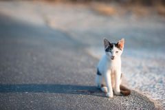 Tricolor homeless cat on the road in Greece Royalty Free Stock Image