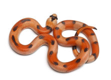 Tricolor Honduran milk snake, Lampropeltis Royalty Free Stock Photo
