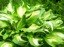 Tricolor Hosta Stock Images