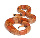 Tricolor hypomelanistic Honduran milk snake Stock Photography