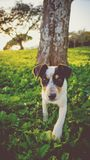 Tricolor Jack Russell Terrier Stock Images