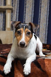 Tricolor Jack Russell Terrier lying on bed Royalty Free Stock Photos