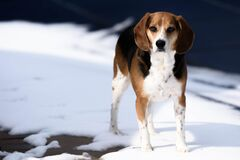 Tricolor Jack Russell Terrier Standing on Snow Royalty Free Stock Images