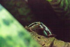Tricolor jad strzałki żaba Epipedobates tricolor Zdjęcie Royalty Free