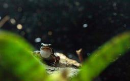 Tricolor jad strzałki żaba Epipedobates tricolor Fotografia Royalty Free