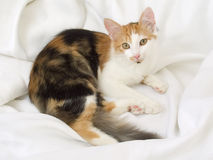 Tricolor katt Arkivfoton