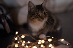 Tricolor katt med stora gula ögon arkivbilder