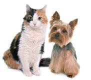 Tricolor katt och yorkshire terrier Royaltyfri Foto