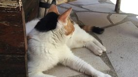 Tricolor katt som ligger på terrass stock video