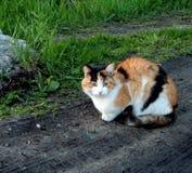 Tricolor katt som sitter på en grusväg arkivbild