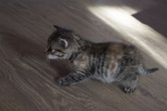 Tricolor kitten with blue eyes is walking on the floor.  stock image
