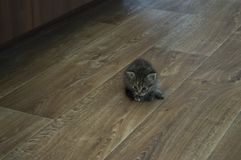 Tricolor kitten with blue eyes is walking on the floor.  royalty free stock photos