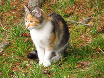 Tricolor kitten Stock Images
