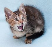 Tricolor kitten with green eyes yawns his tongue Stock Images