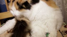 Tricolor kitten licks his tail on the bed chair stock footage