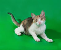 Tricolor kitten lying on green Royalty Free Stock Images