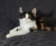 Tricolor kitten sitting on black  bedspread Stock Images