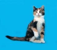Tricolor kitten sitting on blue Stock Images