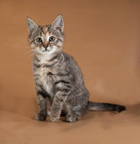 Tricolor kitten sitting on brown Royalty Free Stock Photos