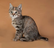 Tricolor kitten sitting on brown Stock Photo