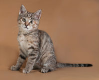 Tricolor kitten sitting on brown Royalty Free Stock Photography