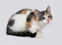 Tricolor kitten sitting on gray Stock Photos