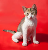 Tricolor kitten sitting on red Royalty Free Stock Images