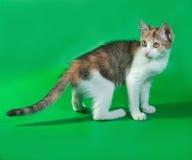 Tricolor kitten standing on green Stock Photos
