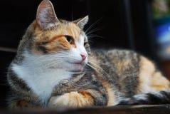 Tricolor kot kłama na pianinie obraz royalty free