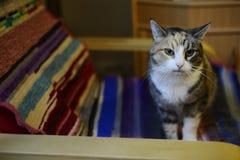 Tricolor kot w krześle zdjęcie royalty free