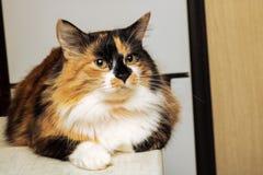 Tricolor kot z brązów oczami, zakończenie w górę portreta obrazy royalty free