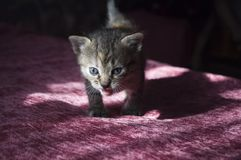 Tricolor little kitten with blue eyes is walking on the pink bedcover.  royalty free stock photography