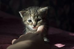 Tricolor little kitten with blue eyes is walking on the pink bedcover.  stock image