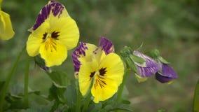 Tricolor ljus blomma för altfiol arkivfilmer