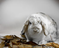 Tricolor lop rabbit Royalty Free Stock Photo