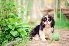 Tricolor nonszalancki królewiątka Charles spaniela pies relaksuje z zabawkarską piłką w lecie Zdjęcie Royalty Free